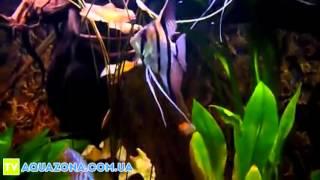 Скалярия полосатая - рыбки в аквариум купить(Купить прямо сейчас рыбку для аквариума Скалярия полосатая бриллиантовая на сайте http://aquazona.com.ua/cat/akvariumnai_riba/..., 2014-03-06T06:06:43.000Z)