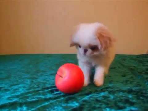 Ukraine, Odessa.Japanese Chin-puppy boy, color white-red (lemon)