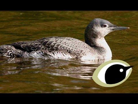 BTO Bird ID - Winter Divers