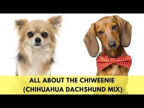 All About The Chiweenie (The Chihuahua Dachshund Mix)