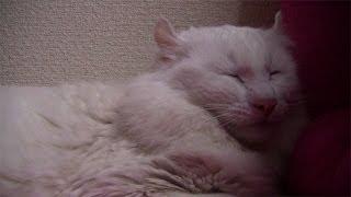 レオ君が寝落ちそうだ Cat slepping.