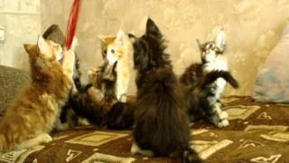 Котята мейн кун, мейн кун на Войковской-1.