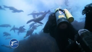 360 degree dive with Steve Backshall being mobbed by sea lions - Big Blue Live: Exclusive - BBC One thumbnail