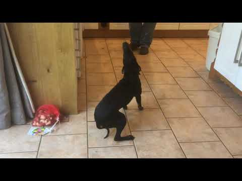 Manchester Terrier Sings Along to the Scottish Bagpipes