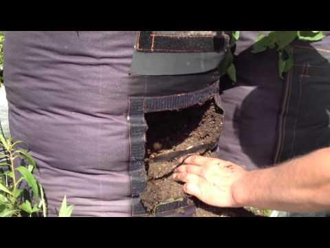 Большой урожай  Картошки в мешках .Заверщение проекта .