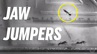 Jumping with your jaws is NOT normal in the animal kingdom, but these ants are amazing at it