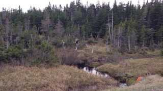 MOOSE! SO CLOSE! Cape Breton Island! Thumbnail