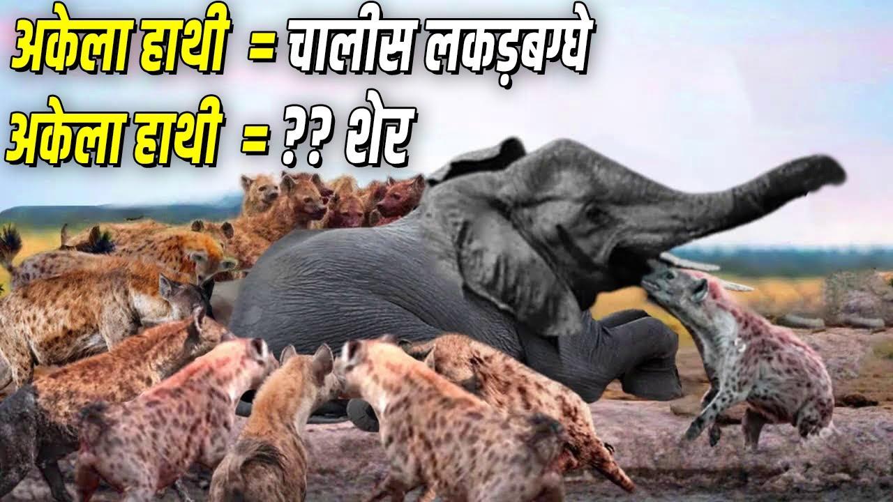 कितने शेर मिलके, एक हाथी को मार सकते है ?
