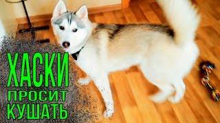 Хаски Капелла просит кушать  Как любят сидеть собаки породы хаски