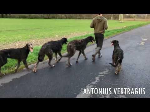 5 months deerhound puppy move