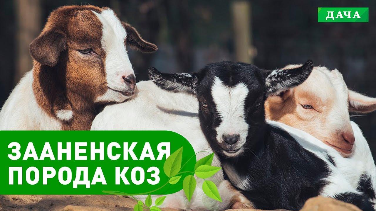 Энциклопедия домашних животных №4 - Зааненская порода коз