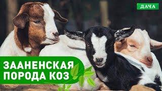 видео Породы домашних овец и коз