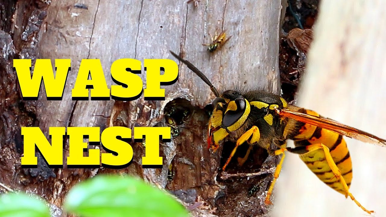 wasp nest in old tree trunk in garden youtube