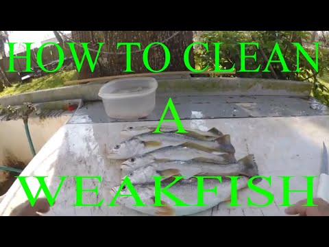 HOW TO CLEAN A WEAKFISH (YELLOW TROUT)