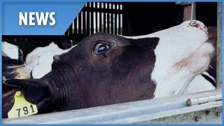 Скачать New Case Of Mad Cow Disease Discovered At British Beef Farm