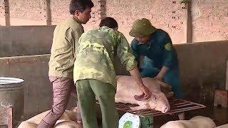 Hà Nội: Dịch tả lợn châu Phi lại tiếp tục tăng cao