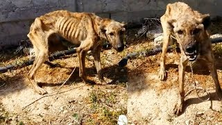 This Dog Was Starving To Deat And Wouldn't Let Anyone Close  Then One Man Tried To Gain Her Trust