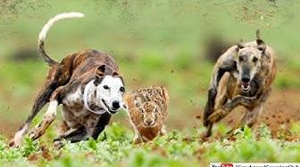 shikar hi shikar 2019 | rabbit hunting in pakistan | greyhound vs hare