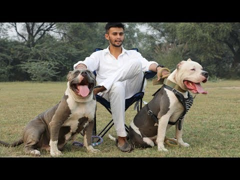 XXL American Pitbulls, Bully Dog Breeder Mr. Deep Bhullar