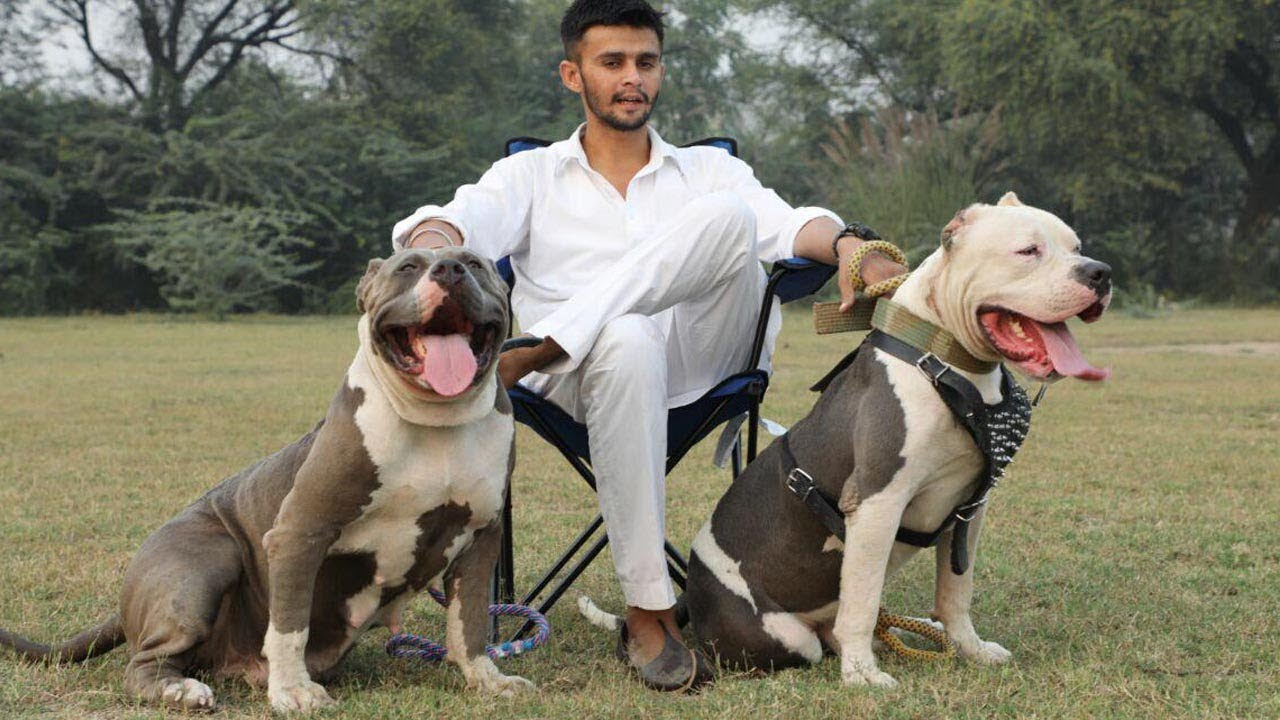 Xxl American Pitbull Bully Dog Breeder Mr Deep Bhullar Youtube