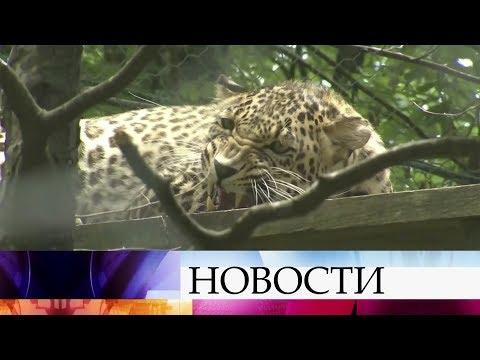 Сразу шесть переднеазиатских леопардов впитомнике Сочи готовятся квыпуску вдикую природу.