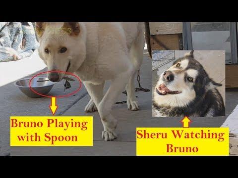 Dog Playing With Spoon   Bruno & Sheru   German Shepherd   Alaskan Malamute
