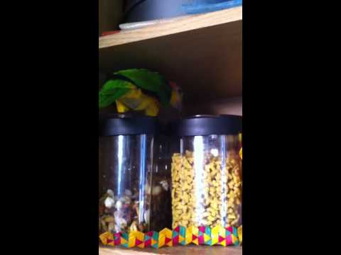 Oliver the White Bellied Caique Going Through Cupboards