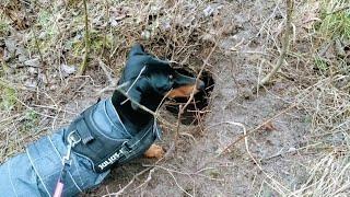Standard Dachshund finds a wild animal den