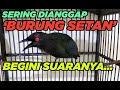 Suara Burung Cucak Keling Gacor Full Isian Jalak Keling Gacor  Mp3 - Mp4 Download