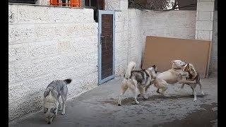اشكال و الوان كلاب الهاسكي السيبيري الاصلي مع جمال العمواسي