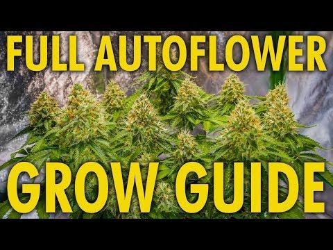 Critical + 2.0 Autoflower Grow - Week 13 - Final Week - 동영상