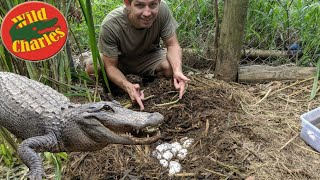 Collecting Alligator Eggs!! Will mom protect? @Florida's Wildest