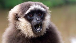 Поющая обезьяна. Таиланд, Пхукет. Singing monkey  الغناء قرد   שירה קוף   원숭이 노래   बंदर गा।  サルを歌います(Онлайн путешествие по Таиланду. Оказывается, поющие обезьяны это не вымысел. Они действительно умеют петь!!!..., 2015-06-12T05:13:47.000Z)