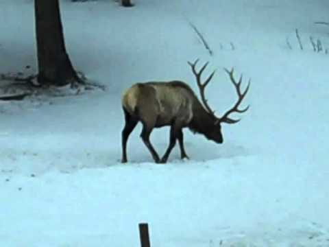 Wildlife Tour Yellowstone 2011.mp4