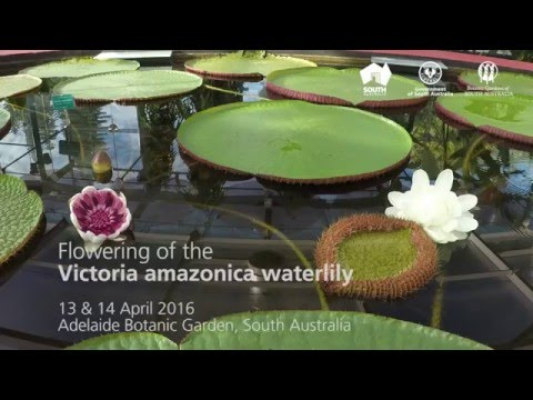 Flowering of the Victoria amazonica waterlily in Adelaide Botanic Garden (timelapse)