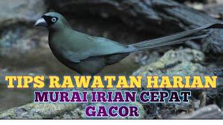 Download Mp3 CARA PERAWATAN HARIAN MURAI IRIAN AGAR CAPAT RAJIN BUNYI DAN GACOR