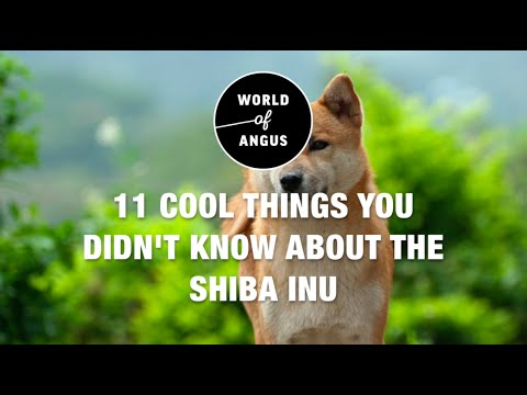 11 Cool Things You Didn't Know About The Shiba Inu | World of Angus