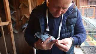 Wojciech Ziobroniewicz - Oddział PZHGP 014 Stawiski - gołębie, hodowla, itp. - 13.10.2017r.