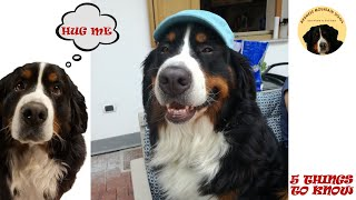 5 THINGS you MUST KNOW if you want a BERNESE MOUNTAIN DOG! part 4