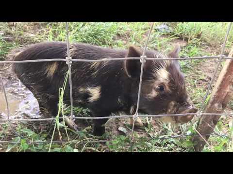Why We Chose Kune Kune Pigs! Why We Chose Pasture Raised Pigs! Homesteading Vlog + Cute Piglet/pigs!
