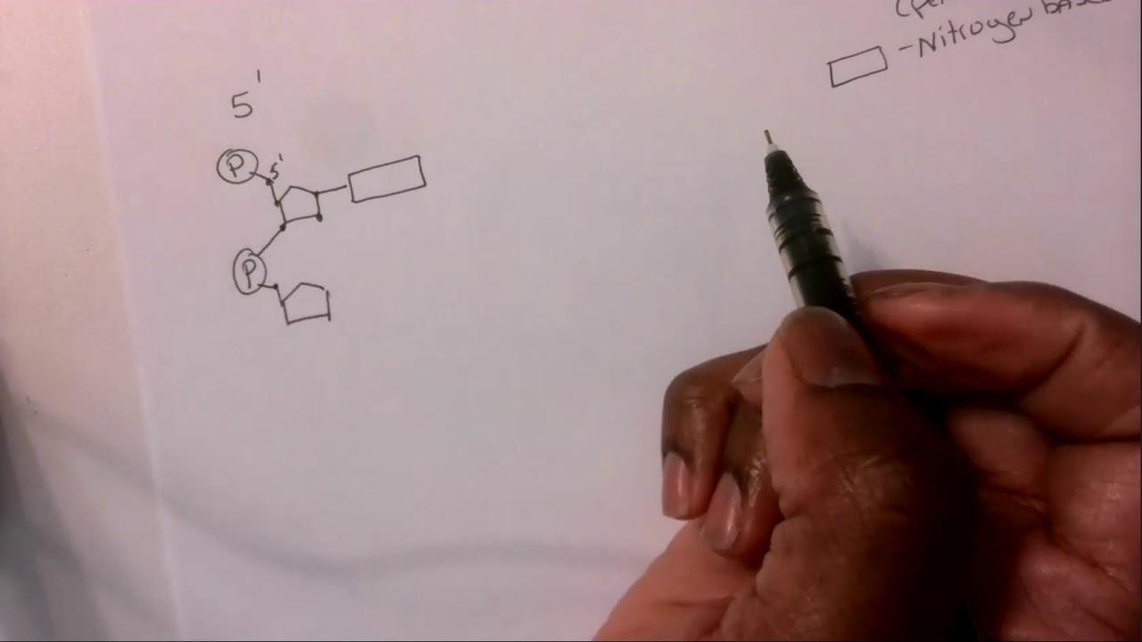 Dna structure homework