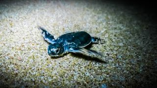 Download Video AMAZING BABY TURTLES! MP3 3GP MP4