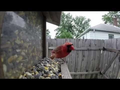 Cardinal Bird Feeder Visit