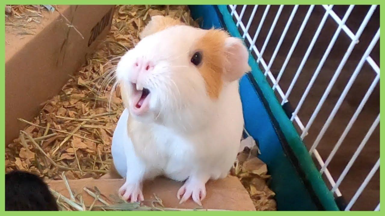 Best Guinea Pig Noises Of 2019 Warning Loud Youtube