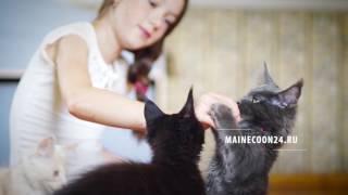Котята мейн-кун, помёт Z от 8 апреля 2016 г. (Красноярск)
