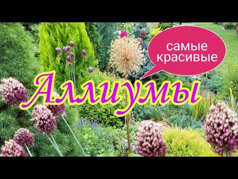 Аллиумы.Декоративные луки.Самые красивые.Красивый сад своими руками.Красивые цветники.Дача.