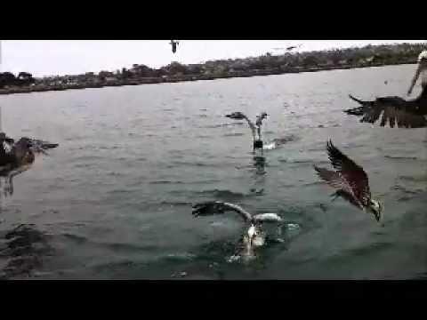 Pelicans vs. Seagulls