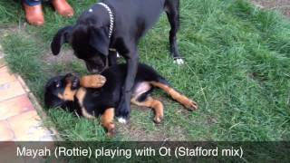Mayah (rottie) Playing With Ot ( Stafford - Boxer Mix )