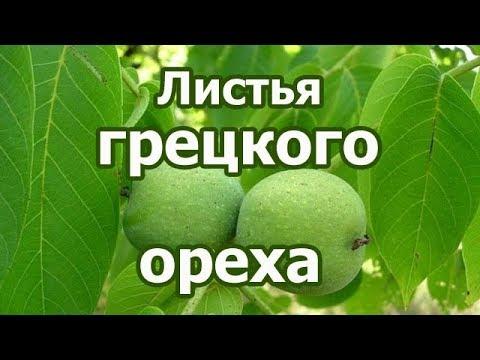 Что лечат листья дерева грецкого ореха? Лечебные и полезные свойства, противопоказания, польза.