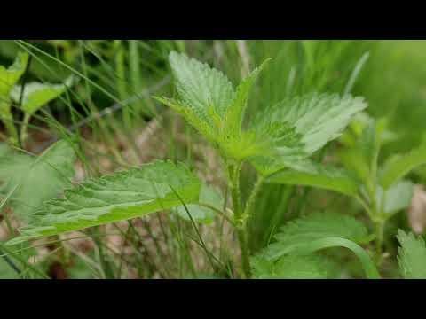 nettle-plant-identification-–-herbal-walk-series